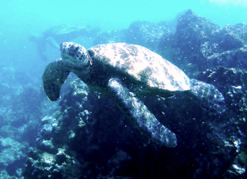 Snorkelling with Turtles Hawaii