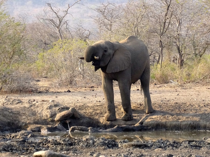 Elephant in South Africa
