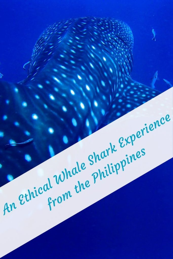 Swimming with Whale Sharks ethically in the Philipines