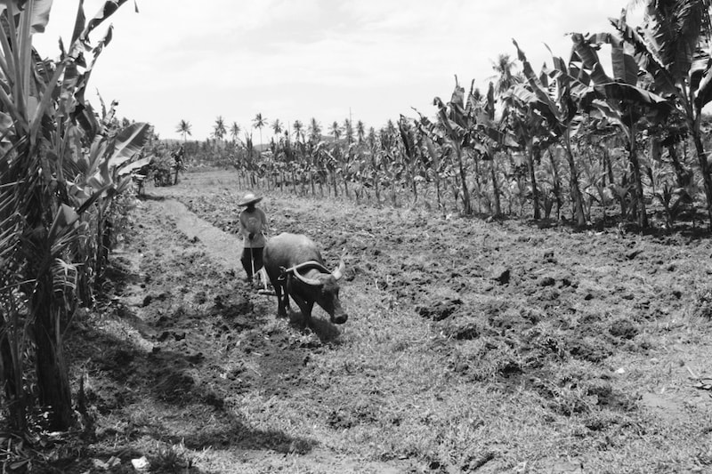 Filipino farmer tills the soil using a buffalo