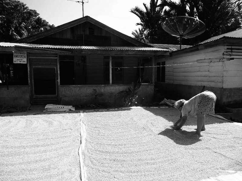 Lady drying rice in a small remote village of North Sumatra